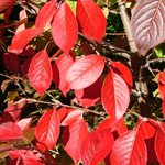 Knighthood™ Black Haw Viburnum fall leaves
