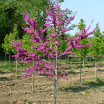 Luscious Lavender™ Redbud flowering tree