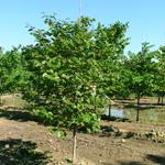 Luscious Lavender™ Redbud tree