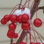 Sweet Sugar Tyme® Compact Crabapple winter berries