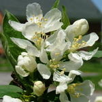 Sweet Sugar Tyme® Compact Crabapple flowers