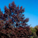 Unique™ Little Leaf Linden fall foliage