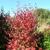 Knighthood™ Black Haw Viburnum Black Haw Viburnum shrub