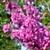 Luscious Lavender™ Redbud flowers