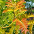 Sunset Gold™ Honeylocust