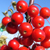 Sweet Sugar Tyme® Compact Crabapple spring berries