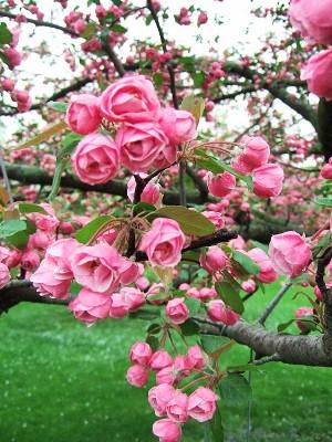 Our flowering crabapples make for better homes and gardens upshoot brandywine crabapple mightylinksfo