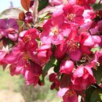 Centurion® Crabapple flowers