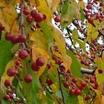 Molten Lava® Crabapple fall foliage
