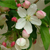 Molten Lava® Crabapple flowers