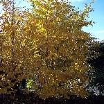 Avalanche Birch1
