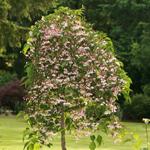 Marleys Pink Parasol® Japanese Snowbell tree