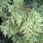 Virginian™ Arborvitae foliage
