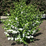 Lime Martini™ Doublefile Viburnum