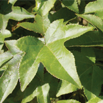 Milestone™ Dwarf Sweet Gum leaf close-up