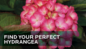 HGTV-HOME-Plants-Find-Your-Perfect-Hydrangea