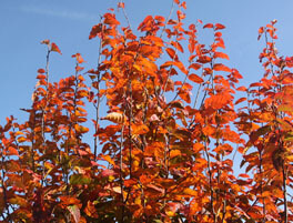 Fire King Carpinus