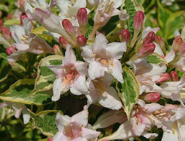 Mor-Colourful Weigela