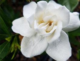 Prince Charles Gardenia