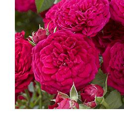 Closeup of Rosa Dynamite™ BAM!