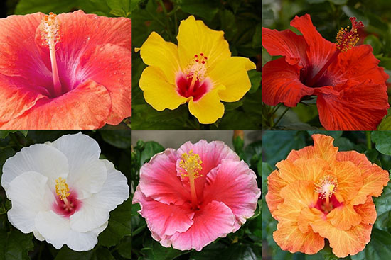 Hollywood Hibiscus medley
